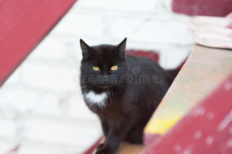 Black cat with brown eyes and white breasts royalty free stock photo