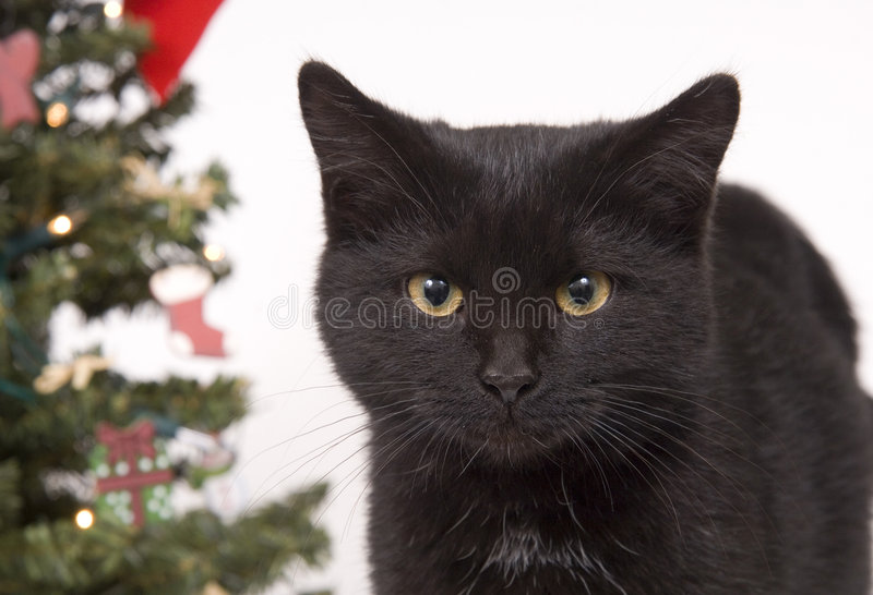 Black Cat With Christmas Tree In Background Royalty Free