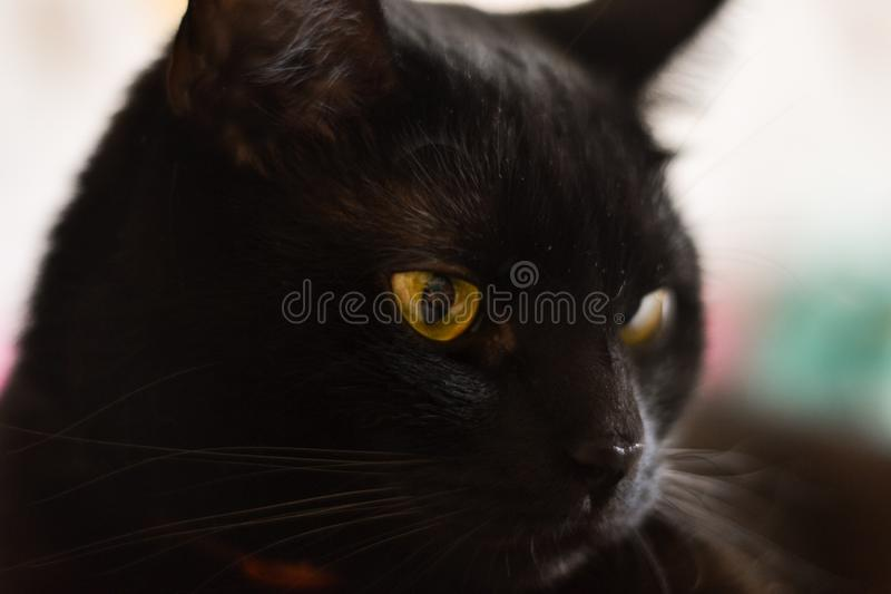 Black cat close up photo. Animal portrait.  stock photos