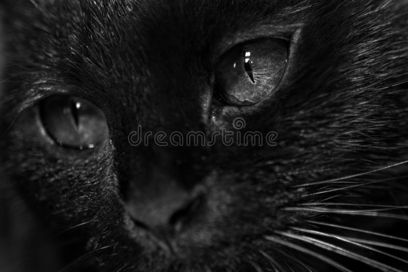 Black cat with dark eyes. Black cat face with dark black eyes. close up kitten face with fur details visible. she looks like possesed by a demon or devil stock photos