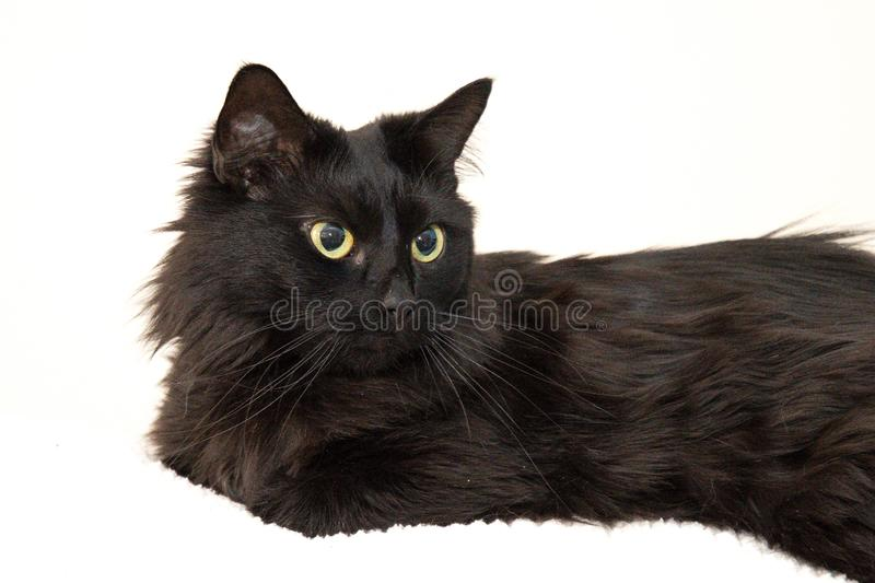 BLACK CAT DELILAH. BAD HAIR DAY FOR DELILAH . LOOKING FOR A WAY OUT OF POSING FOR THE CAMERA royalty free stock images