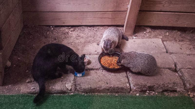 Black cat eating with Groundhogs stock photos