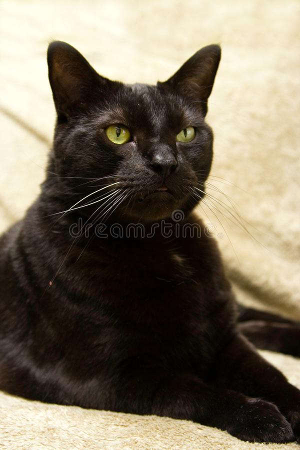 Black cat, evil like look royalty free stock photography