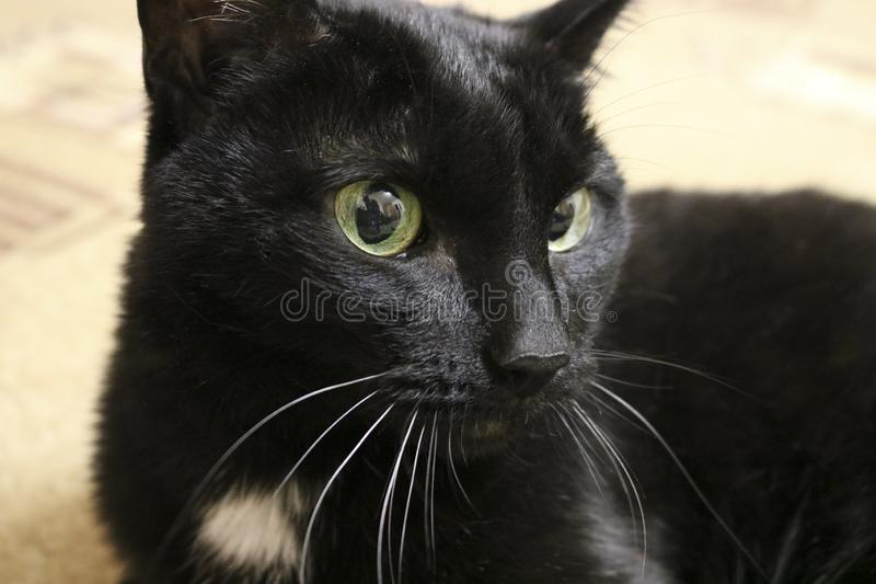 Black cat on the floor - Fluffy and cunning pet with large round eyes. royalty free stock image