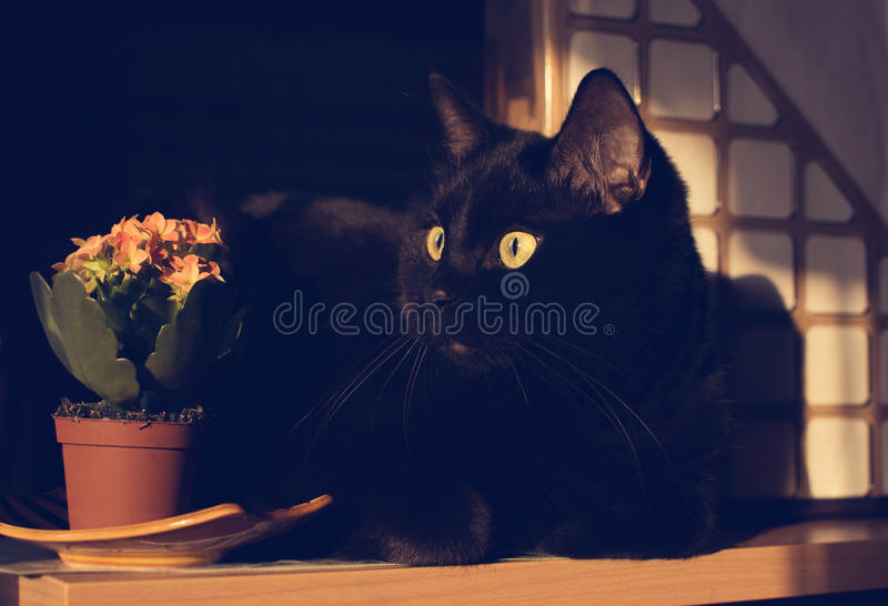 Black cat and flowers of Kalanchoe stock photography