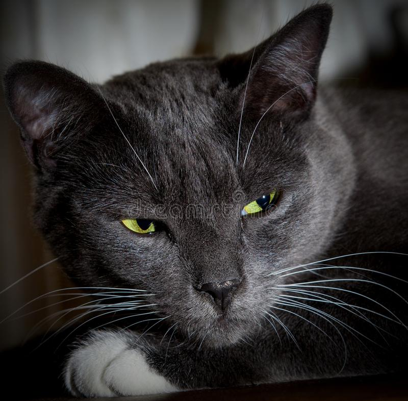 Black cat with glowing green eyes. Close-up of a predatory face.  royalty free stock image