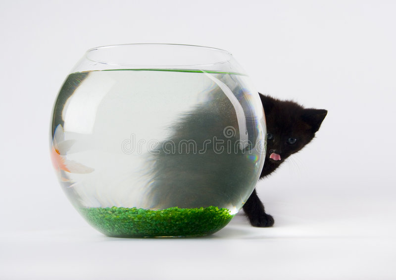Black cat & Gold fish royalty free stock photo