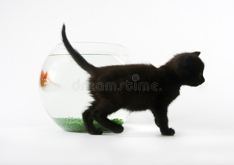 Black cat & Gold fish stock photography