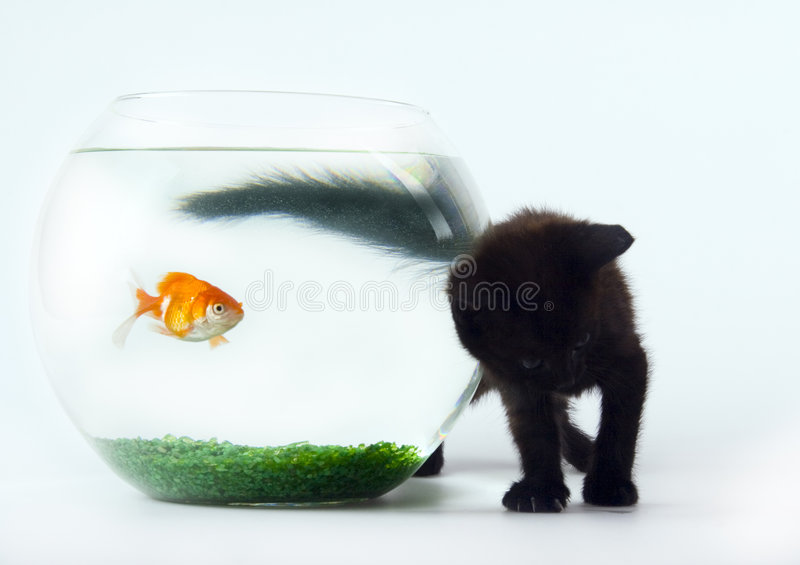 Black cat & Gold fish stock images