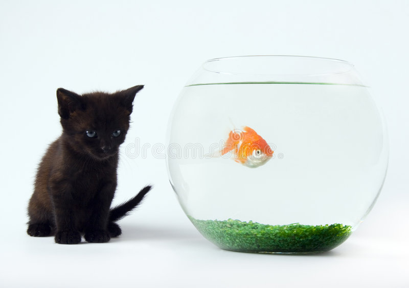 Black cat & Gold fish. Cat - the small furry animal with four legs and a tail; people often keep cats as pets royalty free stock images