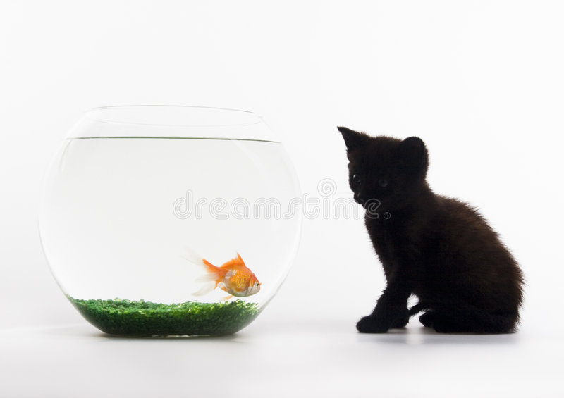 Black cat & Gold fish stock photo