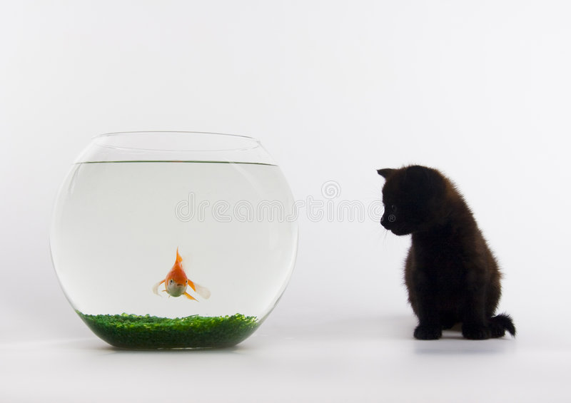 Black cat & Gold fish stock image