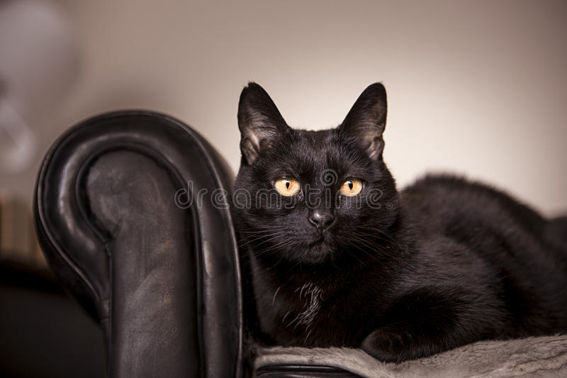 Black cat. With golden eyes lying in his chesterfield royalty free stock images