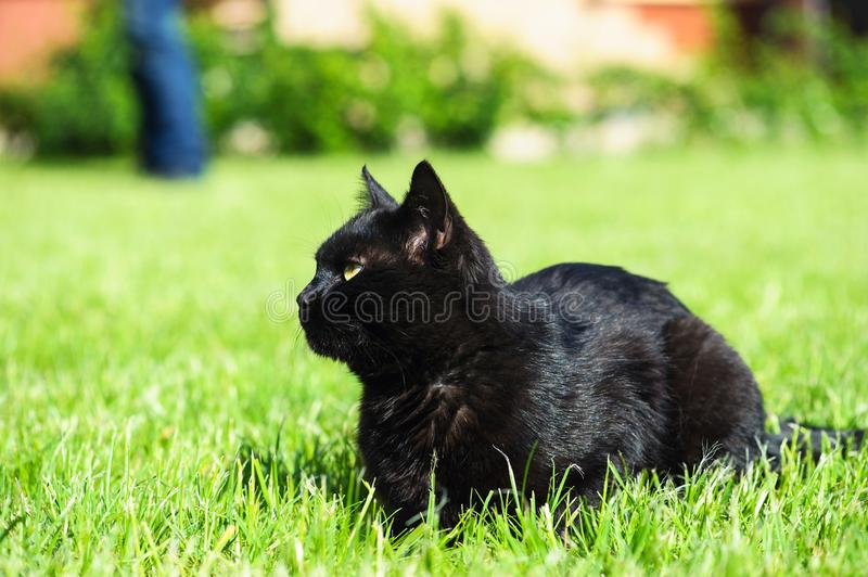 Black cat on green background. Animal, white, domestic, cute, pet, kitten, feline, mammal, portrait, yellow, cats, breed, face, young, looking, close, eye stock images