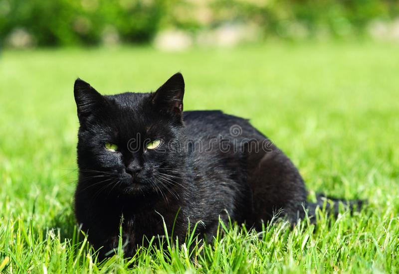Black cat on green background. Animal, white, domestic, cute, pet, kitten, feline, mammal, portrait, yellow, cats, breed, face, young, looking, close, eye royalty free stock photo