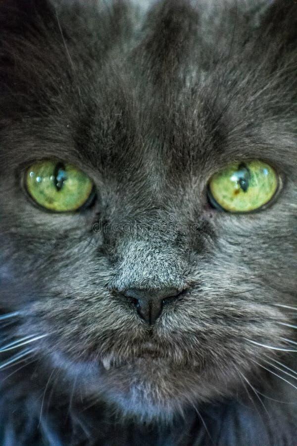 Black cat green eyes looking at camera royalty free stock photos