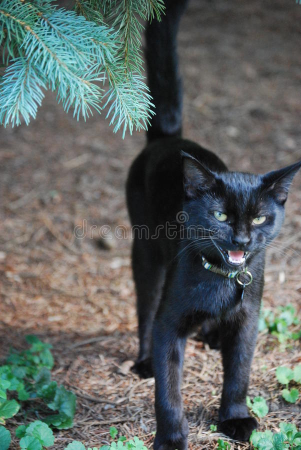 Black Cat Hissing. A black cat hissing in alarm royalty free stock photography