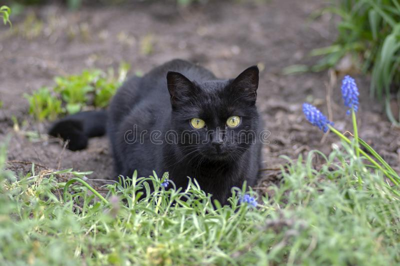 Black cat lie in wait in the garden, dark beast with light green eyes, beautiful animal, eye contact. Black cat lie in wait in the garden, dark beast with light royalty free stock images