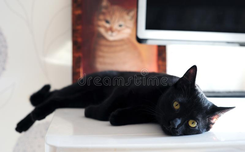Black cat lies on a background of a blurred image of a cat. Selective focus stock image