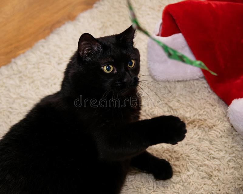 A black cat lies on a white carpet and is played. With a ribbon stock photos