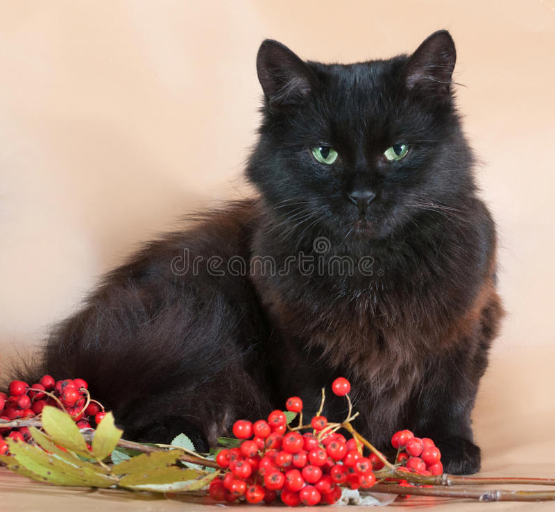 Black cat lies on yellow background next to the berries of mount. Black fluffy cat lies on yellow background next to the berries of mountain ash royalty free stock photo
