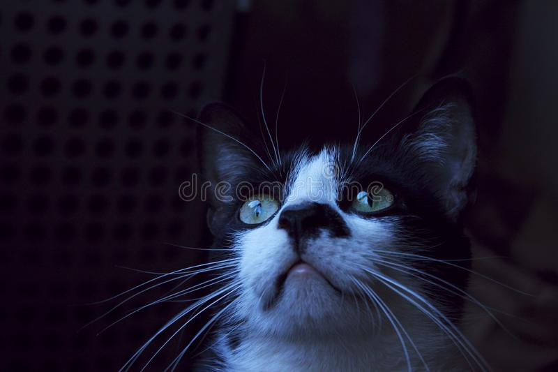 Black cat looking up, cropped shot. Tuxedo cat in the darkness, close up. Animals, pets concept royalty free stock image
