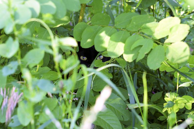Black cat looks out of the green foliage. stock photography