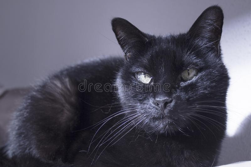 Black cat with lump on muzzle. Black cat with visible lump tumor on the lip stock photo