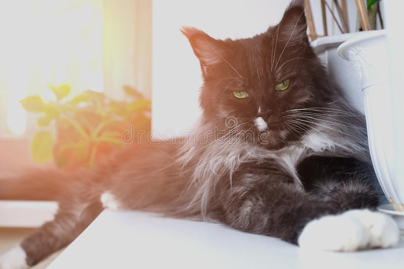 Black cat Maine Coon on the windowsill with green eyes stock photo