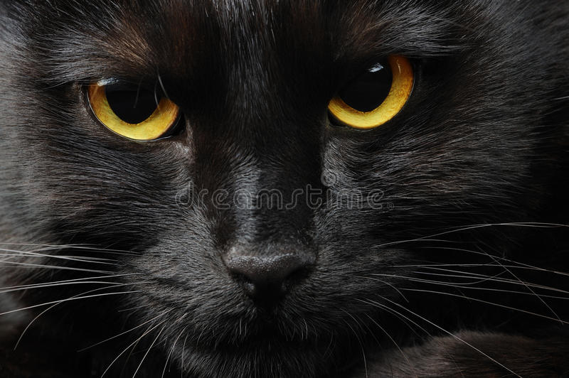 Black cat. Portrait of a black cat stock photography