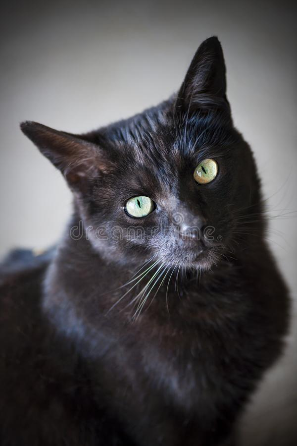 Black cat portrait stock image