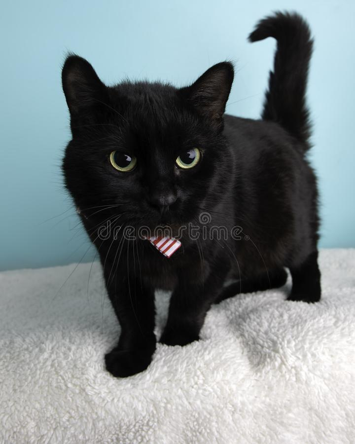 Black Cat Portrait in Studio and Wearing a Bow Tie stock photo