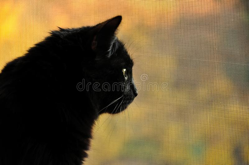 Download Black cat in profile stock photo. Image of companion - 24698128