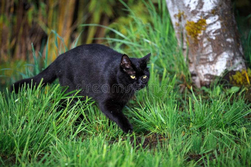 Black Cat on the Prowl in the Yard stock photos
