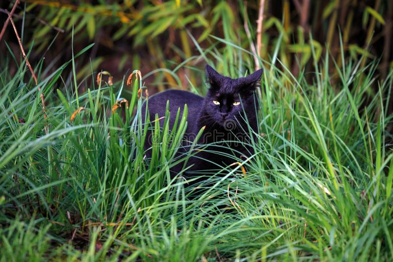 Black Cat on the Prowl in the Yard stock images