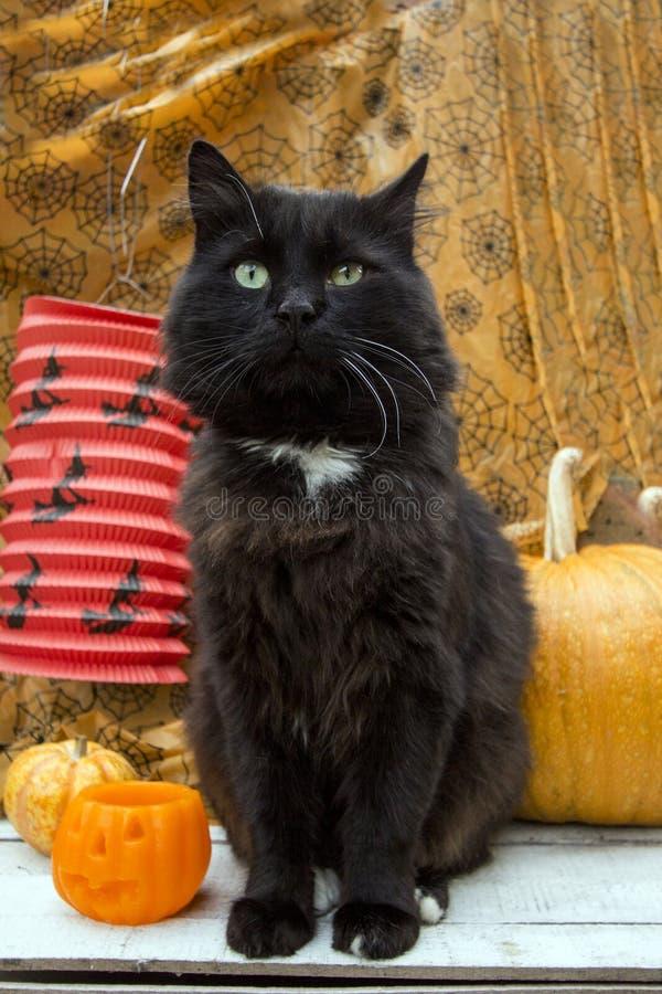 Black cat and pumpkins stock photos