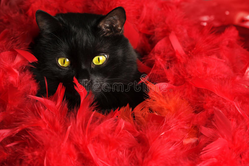 Download Black cat in red feathers stock image. Image of animal - 12256273