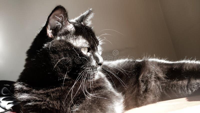 Black cat royalty free stock photo