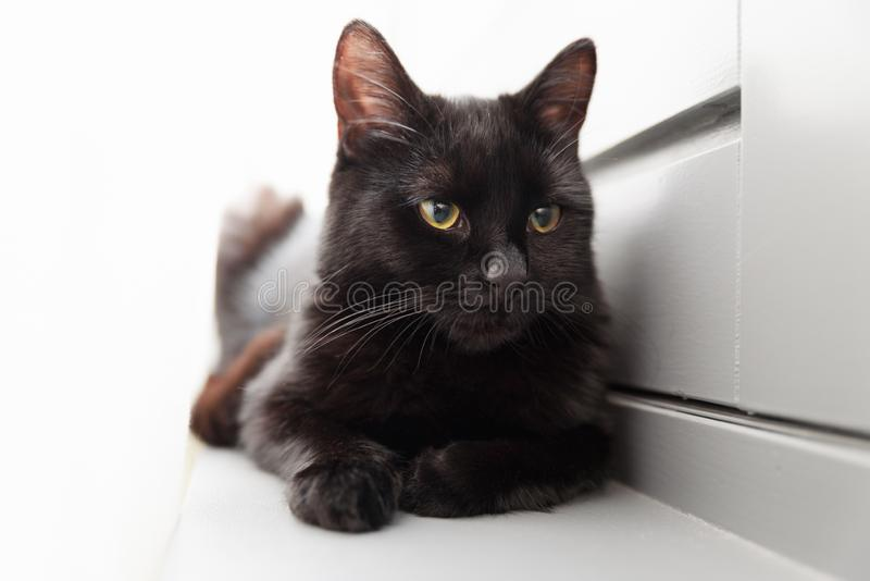 Black cat resting by the window. Black cat with yellow orange eyes, resting by the window with white curtain stock images