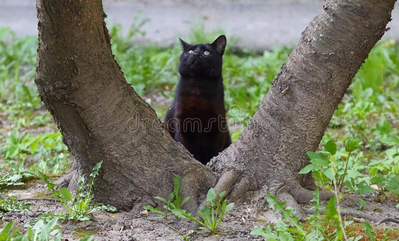 Black cat at the roots of a tree stock photo