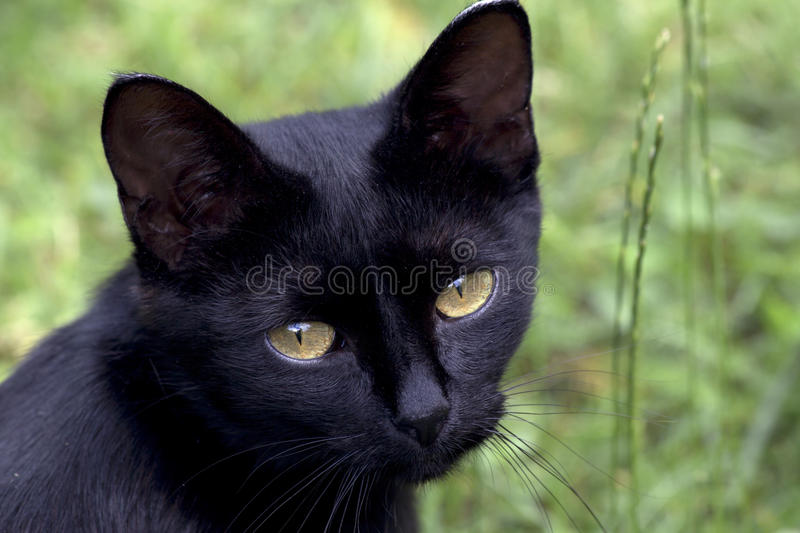 Black cat. In Scotland say: «Black cat on a porch prosperity in the house». The seafarers considered that the presence on the ship black cat promises a royalty free stock photography