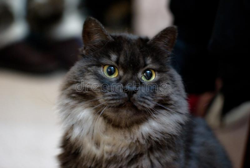 Black cat of siberian breed, ashen color with white undercoat. Cute fluffy kitten. Proud, important cat sits. A cat with royalty free stock photography