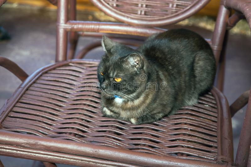 Black cat sits in a wicker chair. Black cat sits in a wicker rocking chair royalty free stock images