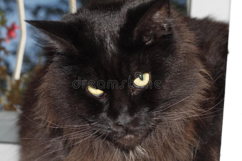 The black cat tilted its head. She looks threateningly. Her wool and hairs are perfectly visible. She has long whiskers and eyebrows. Maine Coon stock photos
