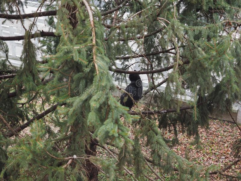 Black cat on a tree. Focus on cat with blurred pine tree leaves stock photo