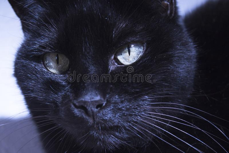 Black cat with lump on muzzle. Black cat with visible lump tumor on the lip stock image