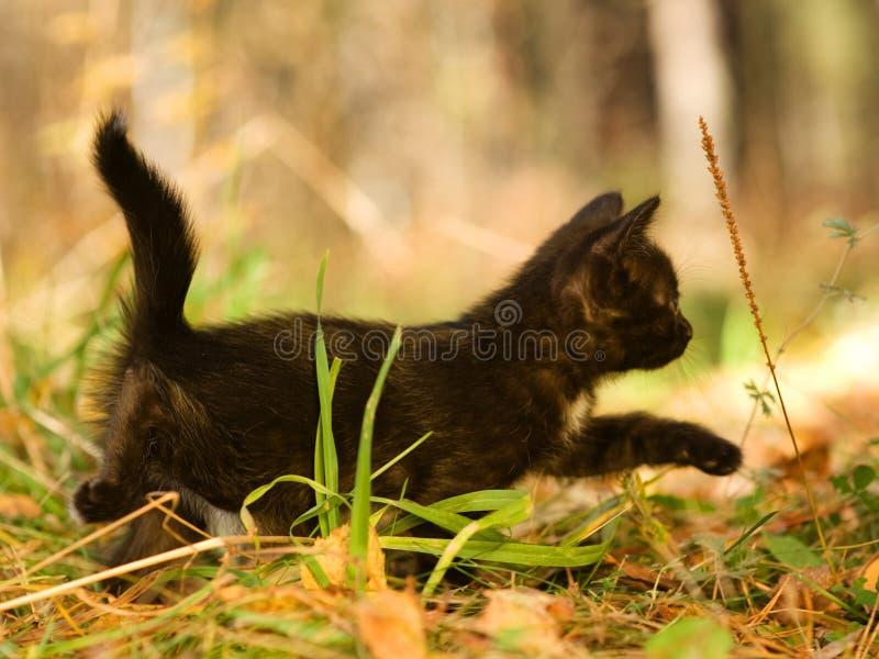 Black cat walking on autumn grass royalty free stock photo