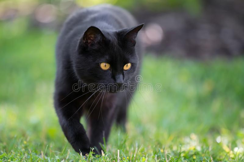 Black cat is walking through the grass stock images