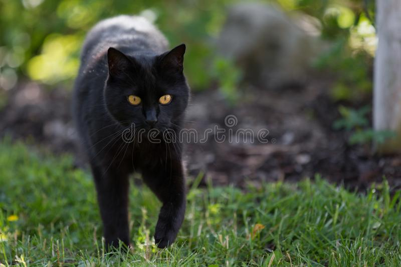 A black cat is walking throught the grass stock photos