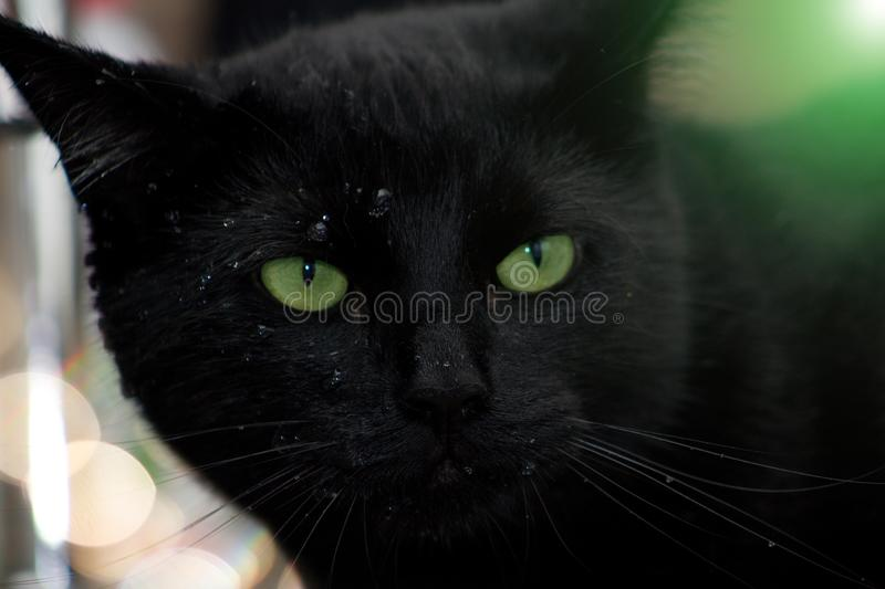 Black cat with water drops on cat`s nose and green fog. Close-up of black cat with green eyes. The cat is wet royalty free stock photos